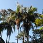 King Palms (Archontophoenix cunninghamiana) (Archontophoenix cunninghamiana)