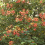 Bauhinia galpinii - Red Orchid Tree/Shrub (Bauhinia galpinii - Red Orchid Tree/Shrub)