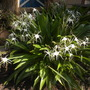 Hymenocallis littoralis - Spider Lily (Hymenocallis littoralis - Spider Lily)