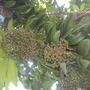 Pimenta dioica - Allspice Fruit