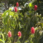Costus barbatus -  Spiral Ginger, Red Tower Ginger (Costus barbatus)