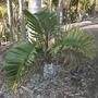 Hyophorbe lagenicaulis - Bottle Palm (Hyophorbe lagenicaulis - Bottle Palm)