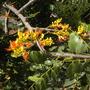 Castanospermum australe - Moreton Bay Chestnut
