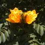 Spathodea campanulata 'aurea' - Golden/Yellow African Tulip Tree (Spathodea campanulata 'aurea' - Golden/Yellow African Tulip Tree)
