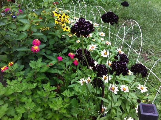Scabiosa black knight (Scabiosa atropurpurea (Pincushion flower))