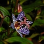 "Tricyrtis ""Purple Beauty"" (Tricyrtis formosana (Toad Lily))"