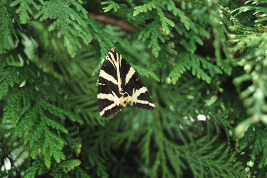 Jersey Tiger (Euplagia quadripunctaria)! seen 23/8/12!