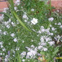 Alyssum (Lobularia maritima (Alyssum Rosie ODay))