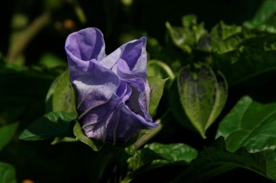 Unidentified blue flower
