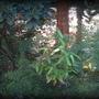 bamboo against forest ( sasa palmata?)