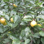 Greengage plums  (Prunus domestica (Plum))