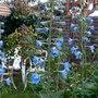delphiniums blue (Delphinium Pacific Hybrid)