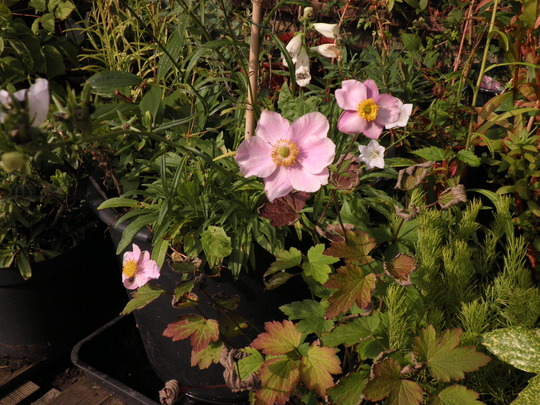 Japanese anemone in a bit of sun