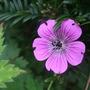 Geranium 'Rosetta' (Geranium wallichianum)