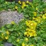 Creeping Jenny -Lysimachia nummularia (Lysimachia nummularia)