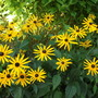 Rudbeckia_fulgida_goldstrum_coneflower