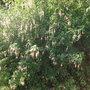 Fuchsia Magellanica Alba Ladies Eardrops (Fuchsia Magellanica Alba)