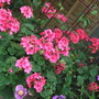 Pot of Geraniums