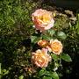 Rose Autumn Sunset