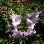 gladiolus Blue Frost