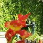 Gladiolus Princess Margaret Rose