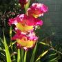 Gladiolus - I cant remember name