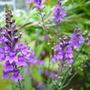Linaria purpurea (Purple Toadflax)