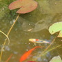 Fish are breeding after putting the pond in 13 month ago..yippee :O)