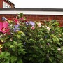 Tri hibiscus patch 500x375