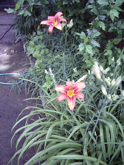 Orange Daylilies (Hemerocallis fulva (Chin Chen TsAi))