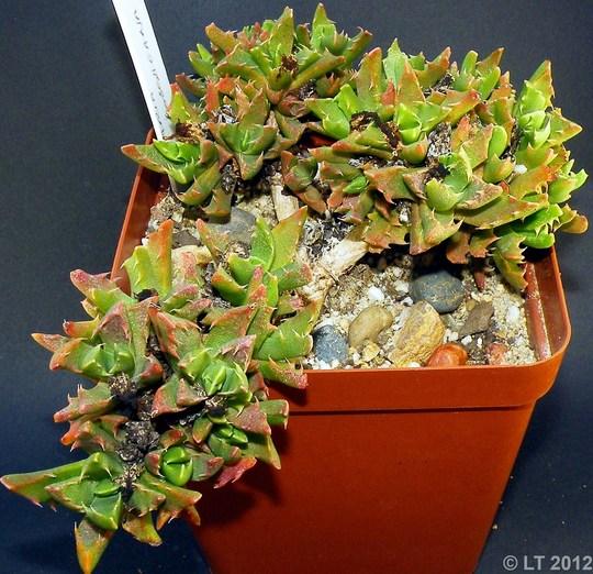 Faucaria bosscheana (Faucaria bosscheana)