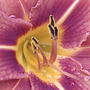 Another bug's eye view... (Hemerocallis fulva (Chin Chen TsAi))