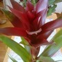 Guzmania_from_amparo_very_close_up_12_08_2012_002