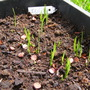 Iris seedlings