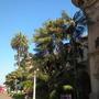 Kentia Palms (Howea fosteriana) On The Prado, Balboa Park, San Diego, CA. (Kentia Palms (Howea fosteriana))