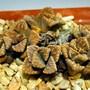 Titanopsis calcarea (Titanopsis calcarea (Concrete-leaf Living Stone))