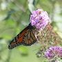 Monarch_on_butterfly_bush