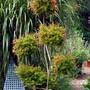 Punica granatum nana (Pom pom) (Punica granatum nana)