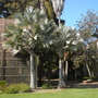 Bismarckia nobilis - Bismarck Palms (Bismarckia nobilis - Bismarck Palm)