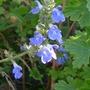 Salvia uliginosa - 2012 (Salvia uliginosa)