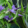 Gentiana asclepiadea - 2012 (Gentiana asclepiadea)