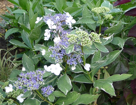 hydrangea macrophylla 39 tricolor 39 2012 grows on you. Black Bedroom Furniture Sets. Home Design Ideas