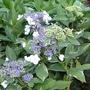 Hydrangea_macrophylla_tricolor_2012