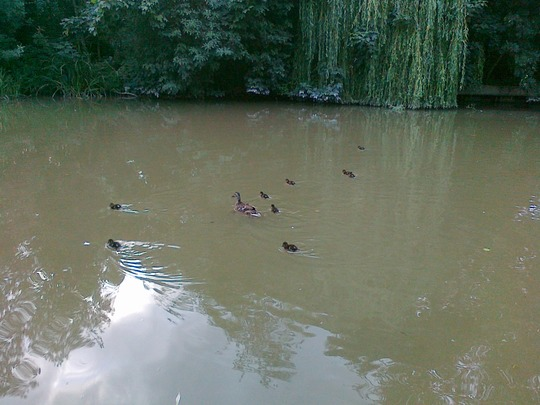 Day-Old Ducklings in August?