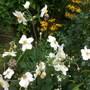 Anenome Honorine Jobert (Anemone)