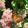 Painted Lady on the pink sedum