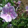 mauve phlox bloom