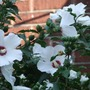 Rose of Sharon (Hibiscus)