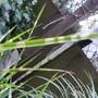 miscanthus zebrinus  detail 120826
