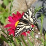Swallowtail and tanacetum